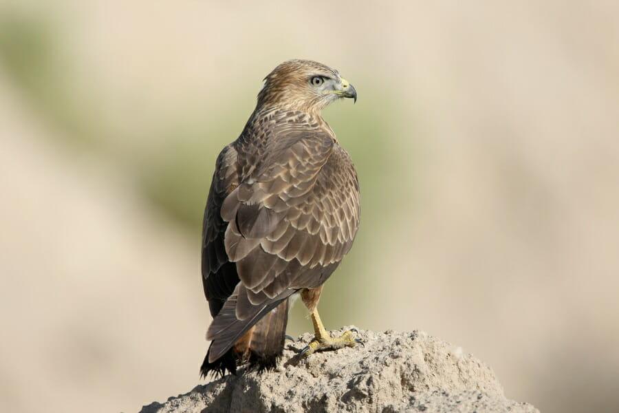 Common Buzzard on mound