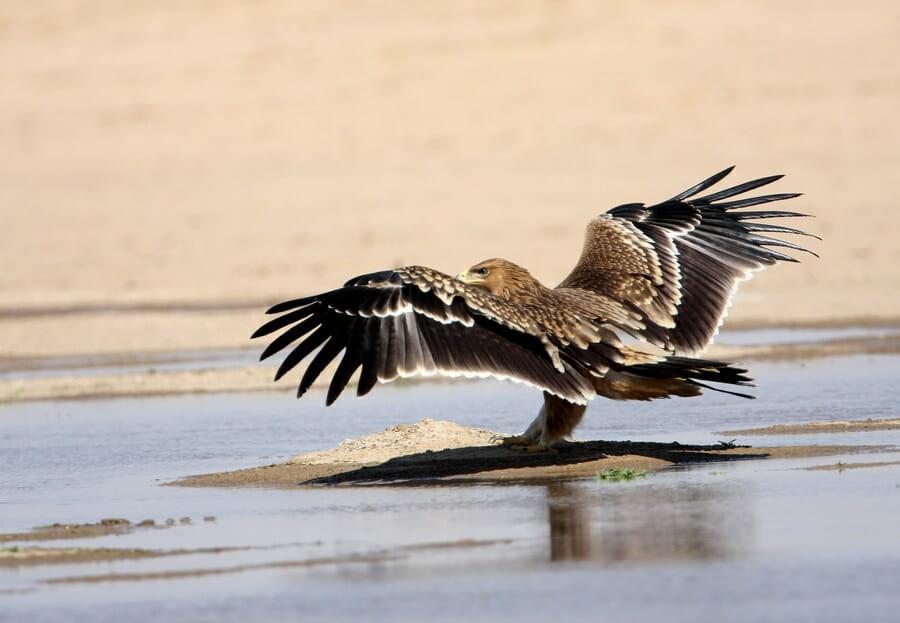 Imperial Eagle landin on water