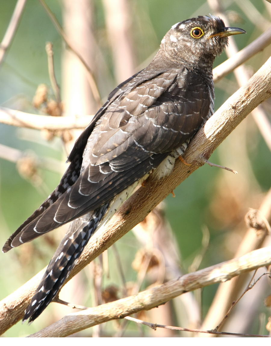 Common Cuckoo perching on the ground