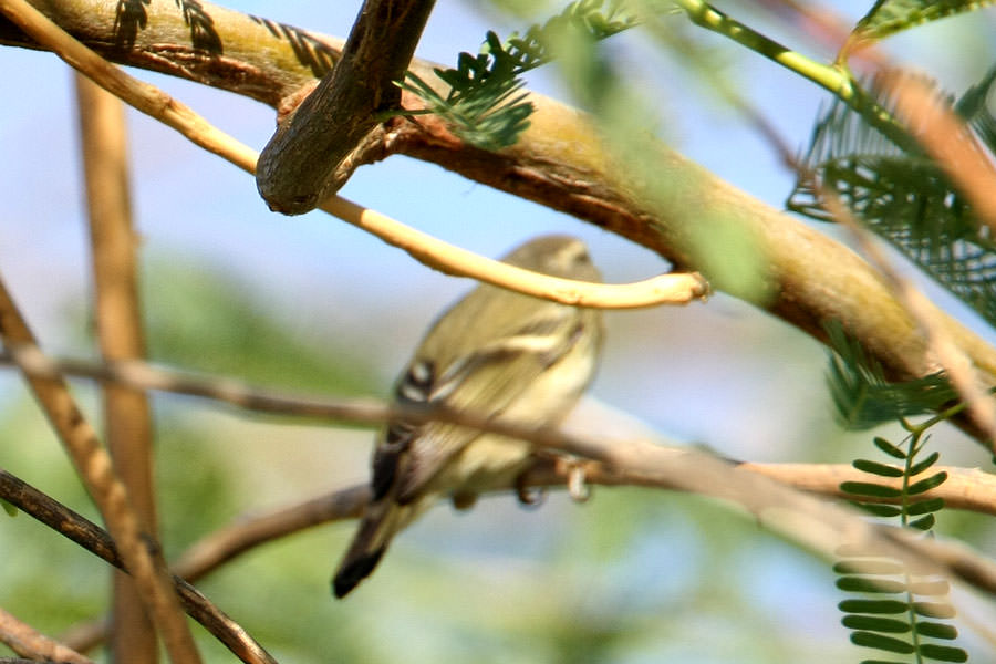 Yellow-browed Warbler  in a tree