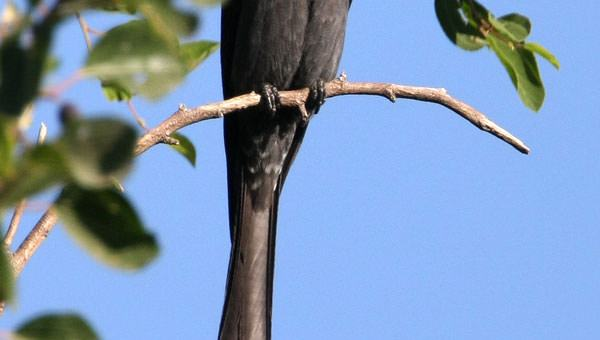 Ashy Drongo perched on a branch of a tree