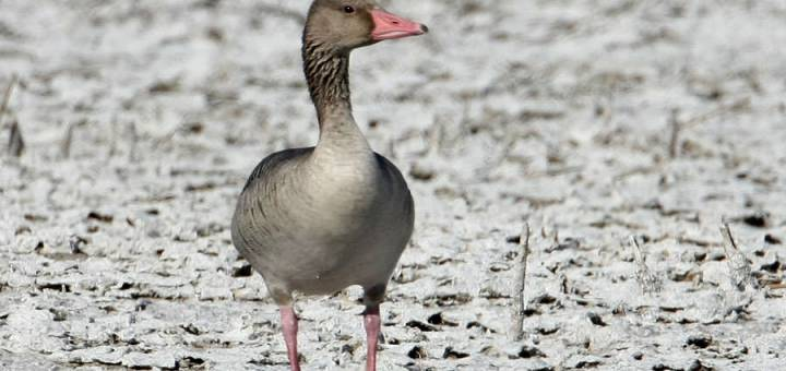 Eastern Greylag Goose standing on the ground