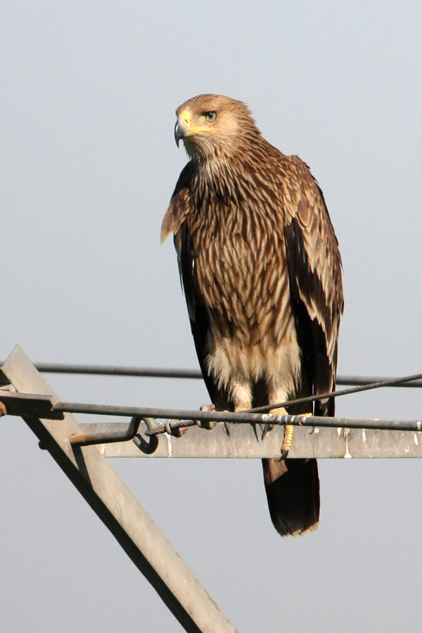 Eastern Imperial Eagle perched on a pylon