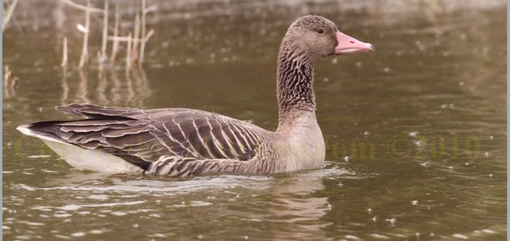 Eastern Greylag Goose Anser anser rubrirostri (Juvenile) swimming in water