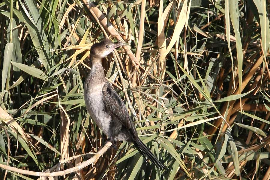 Pygmy Cormorant perched on reeds