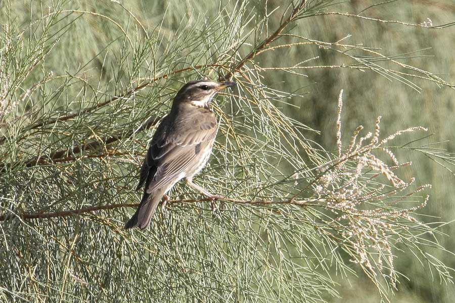 Redwing perched on a tree