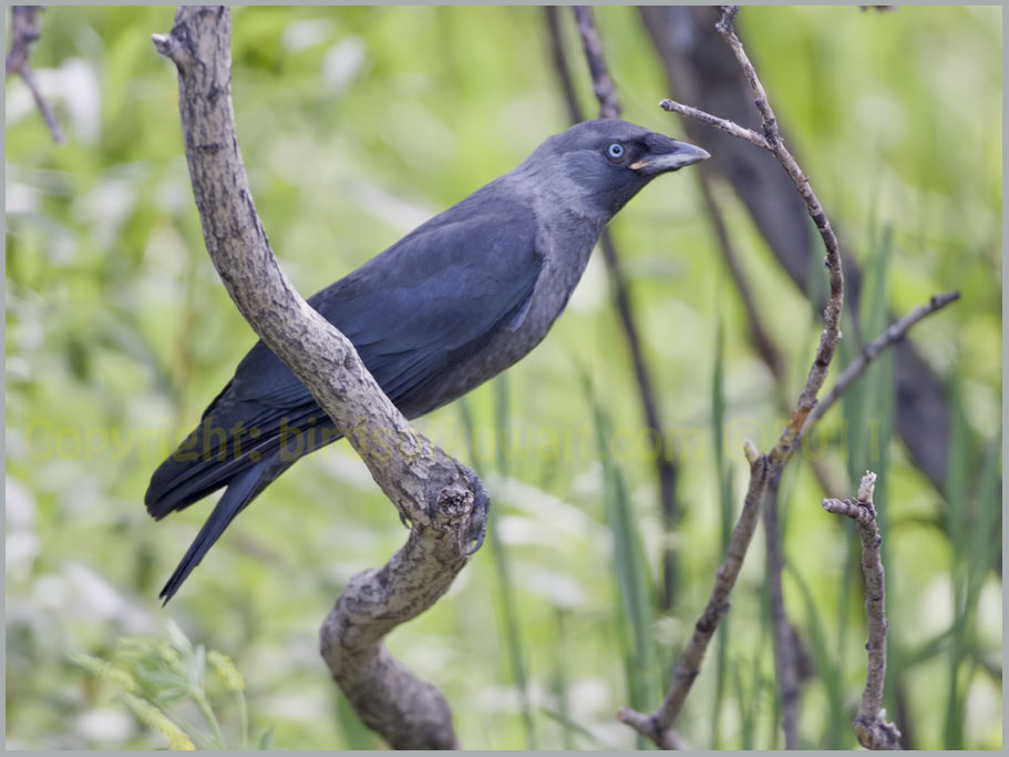 Western Jackdaw Corvus monedula juvenile