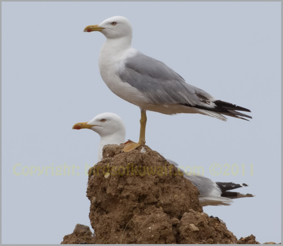 Yellow-legged Gull Larus michahellis
