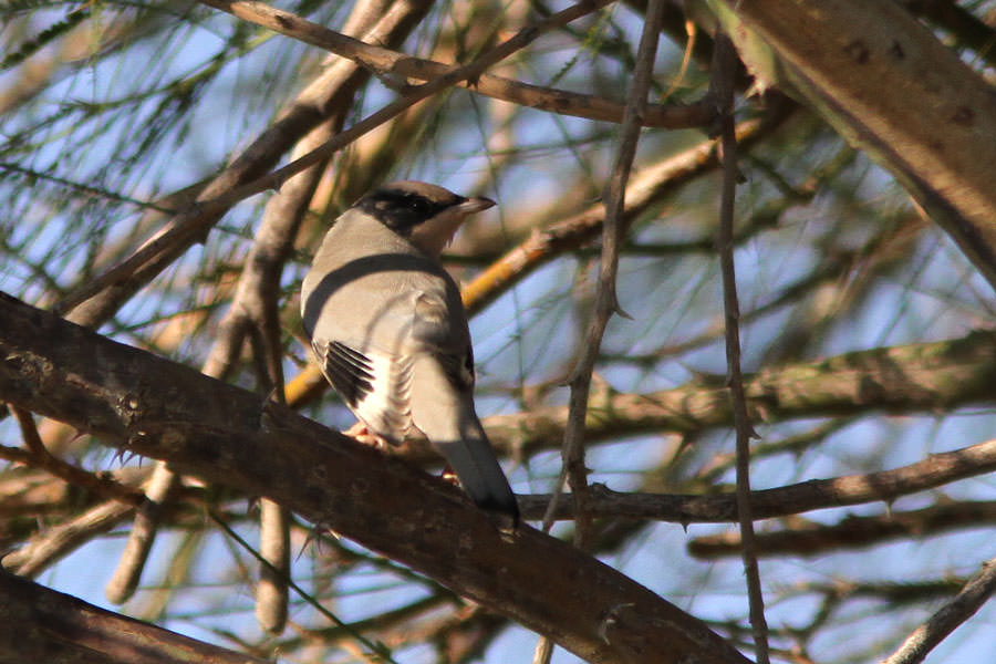 A Hypocolius in a tree