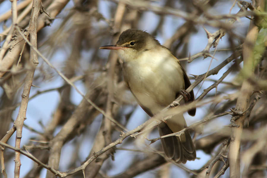 Basra Reed Warbler perching on a branch