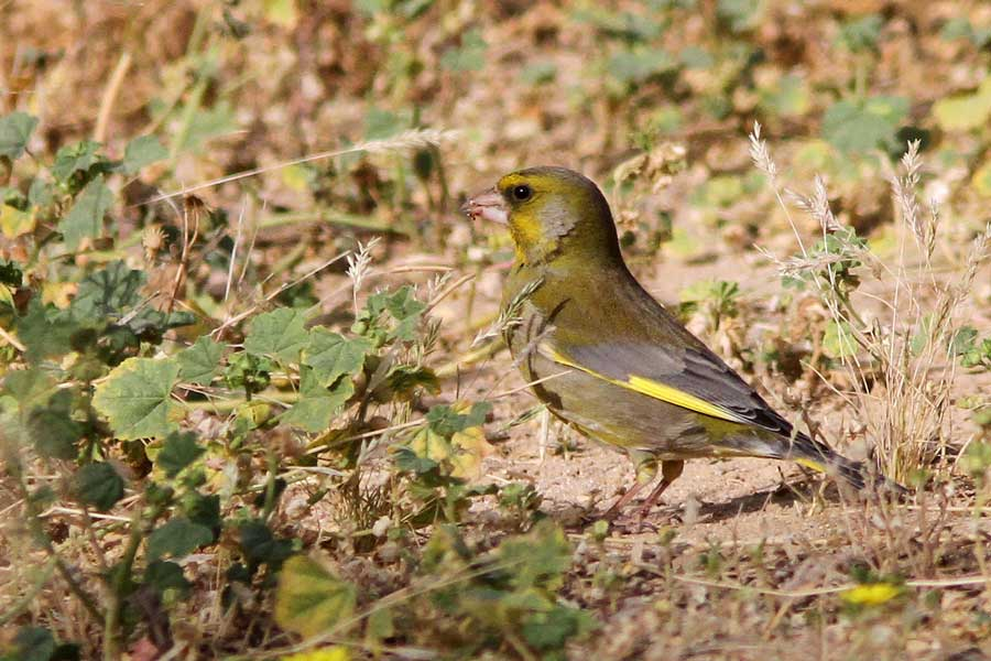 European Greenfinch feeding on thr ground
