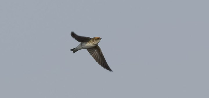 Streak-throated Swallow in flight