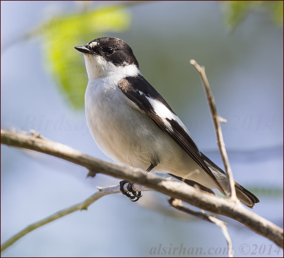 Semi-collared Flycatcher perching on a branch