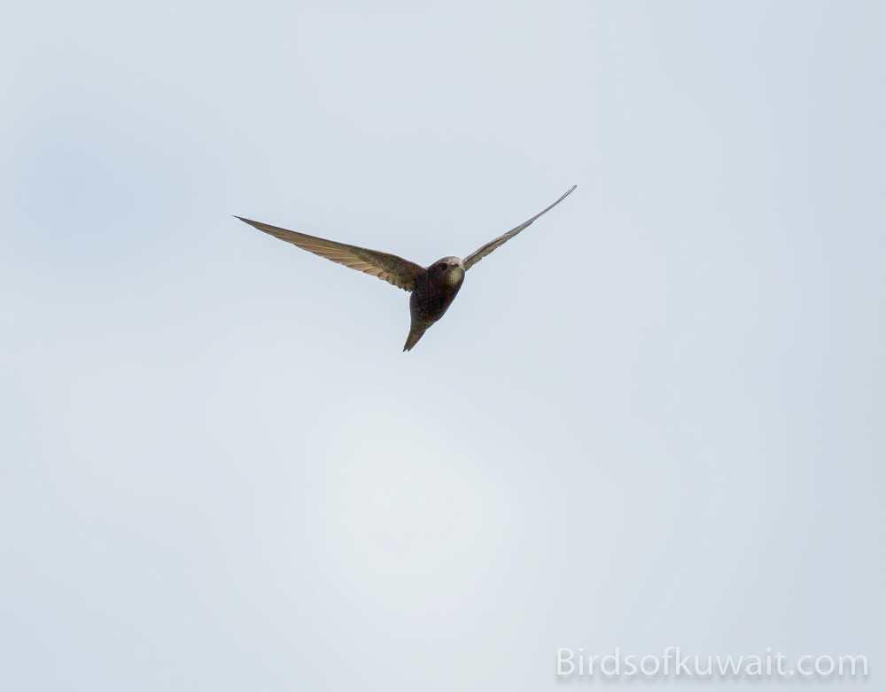 Common Swift Apus apus