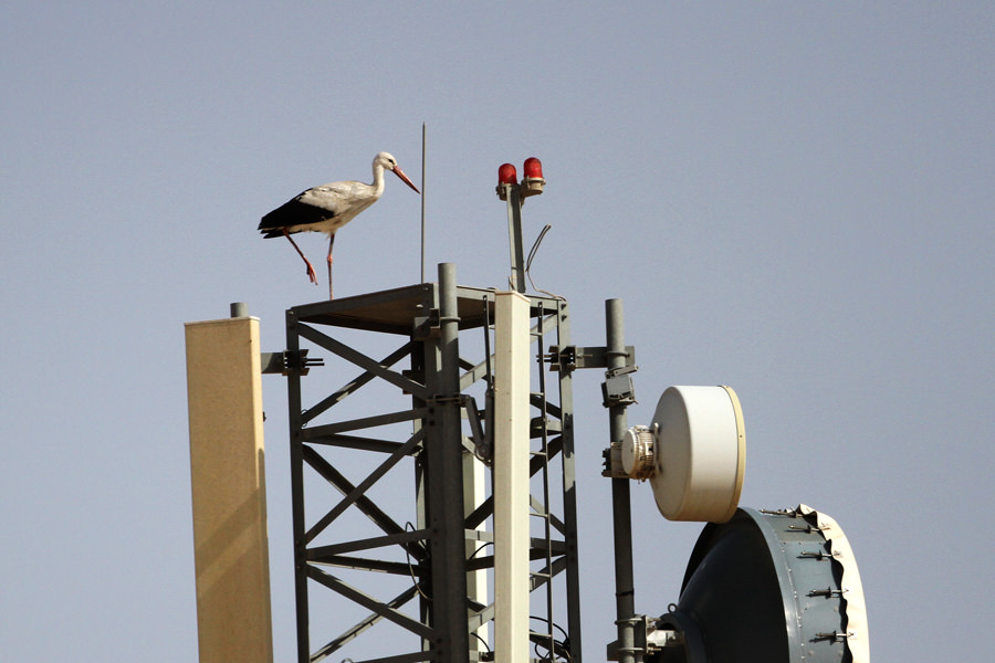 Western White Stork Ciconia ciconia