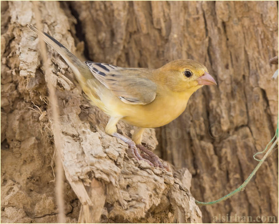 Arabian Golden Sparrow perched on a tree trunk