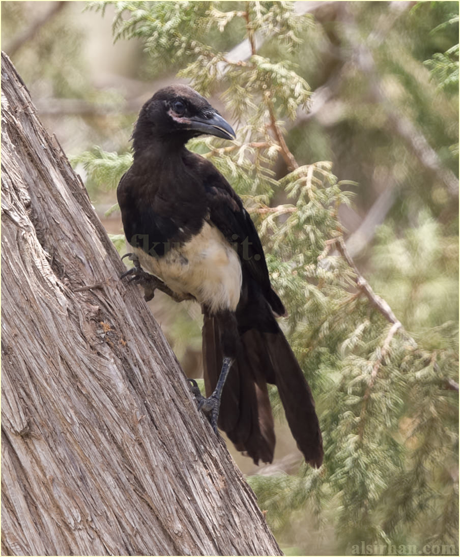 Asir Magpie perched on a tree trunk