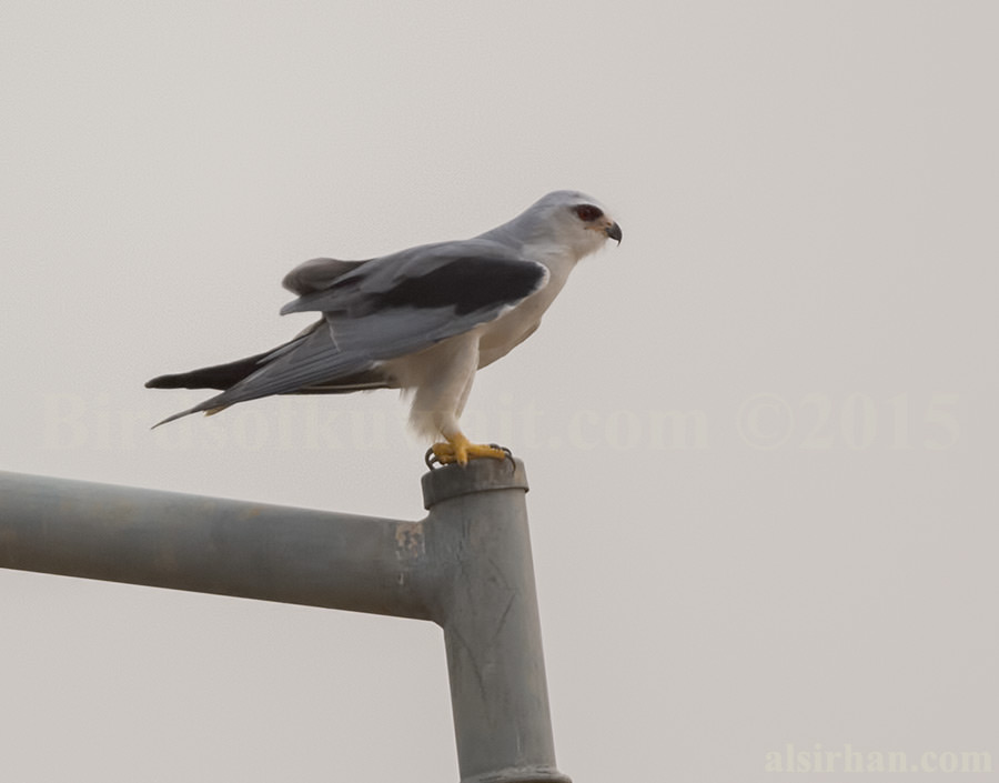 Black-winged Kite perched on a pipe