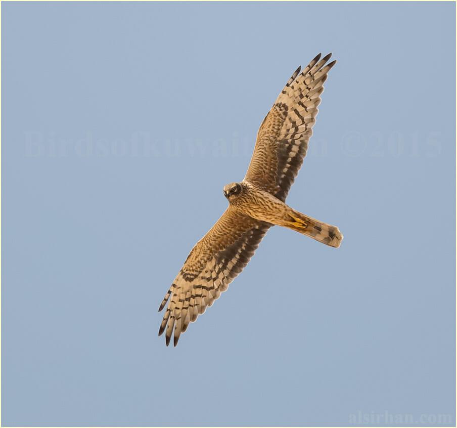 Pallid Harrier adult female in flight