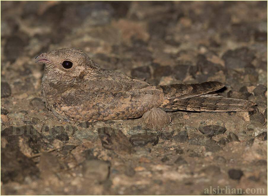 Plain Nightjar - Caprimulgus inornatus