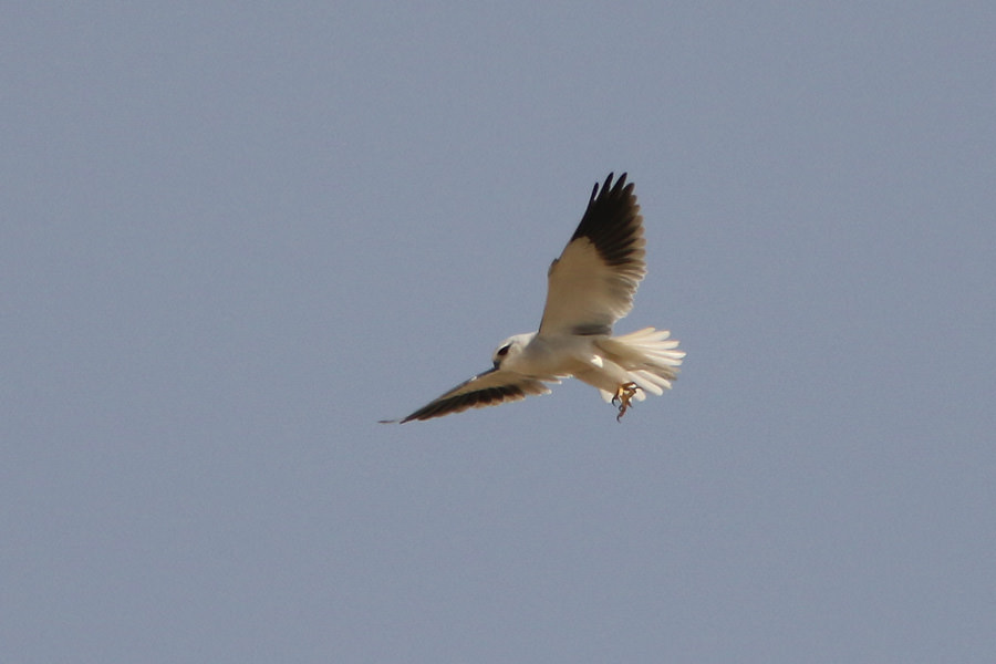 Black-winged Kite Elanus caeruleus