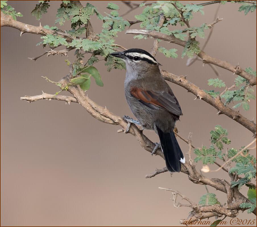 Black-crowned Tchagra (Tchagra senegalus)