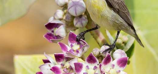 Purple Sunbird Cinnyris asiaticus