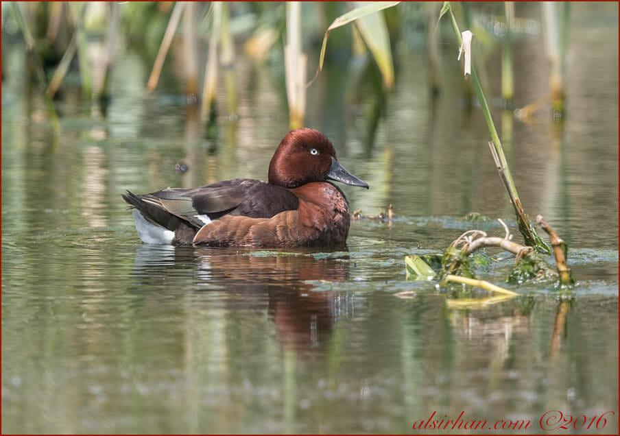 Ferruginous Duck Aythya nyroca