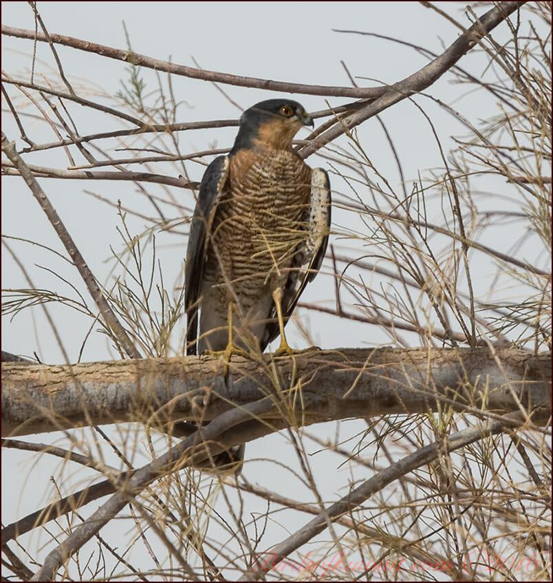 Eurasian Sparrowhawk Accipiter nisus