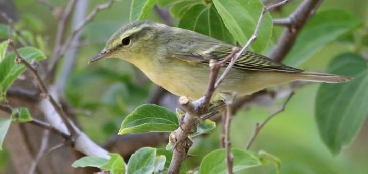 Green Warbler perched on a branch of a tree