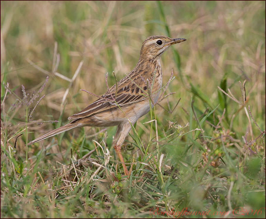 Richard's Pipit Anthus richardi
