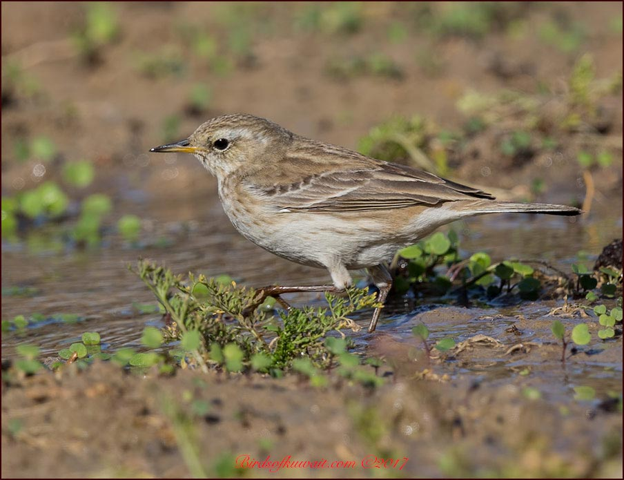 Caucasian Water Pipit Anthus (spinoletta) coutelli