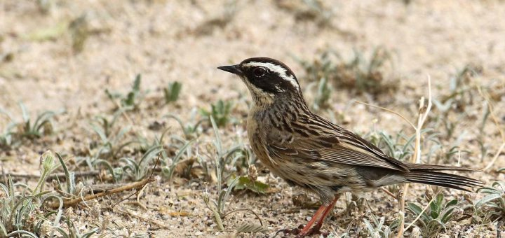 Radde's Accentor perched on the ground
