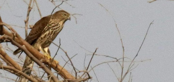 Shikra perched on a branch of a tree