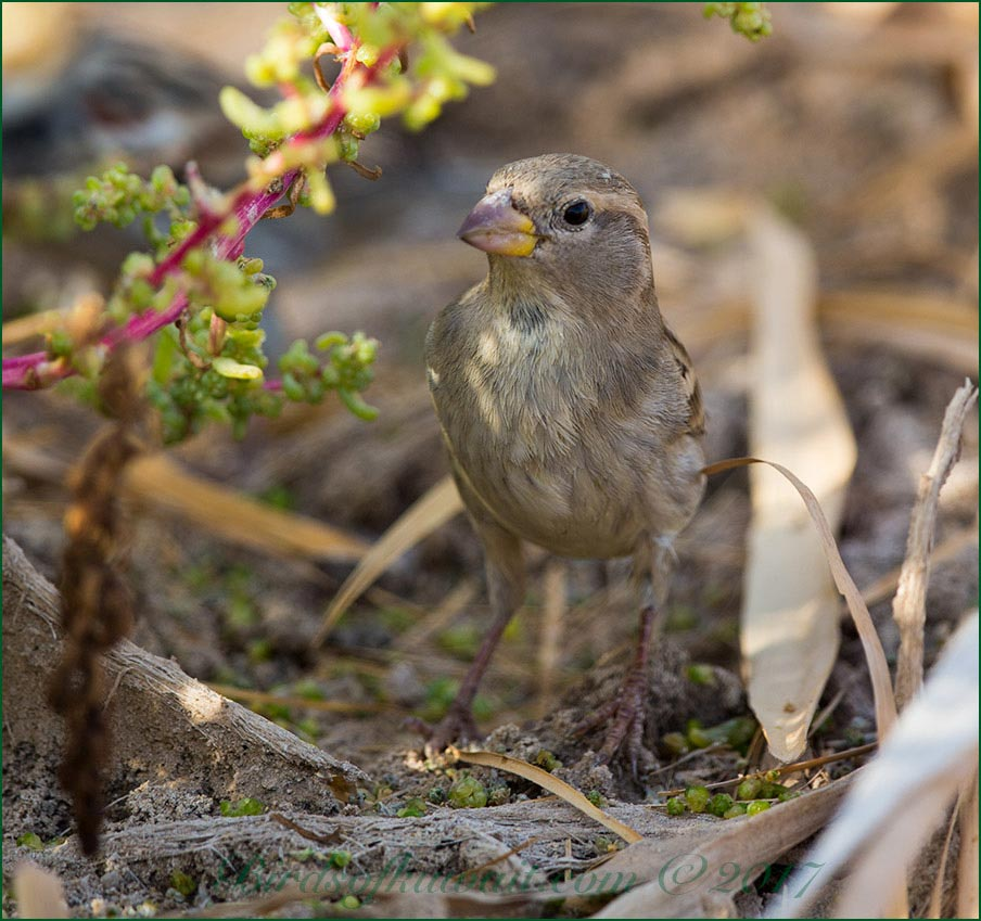 Spanish Sparrow standing on the ground