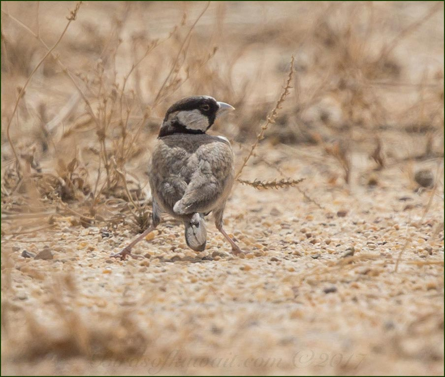 Black-crowned Sparrow-Lark on the ground