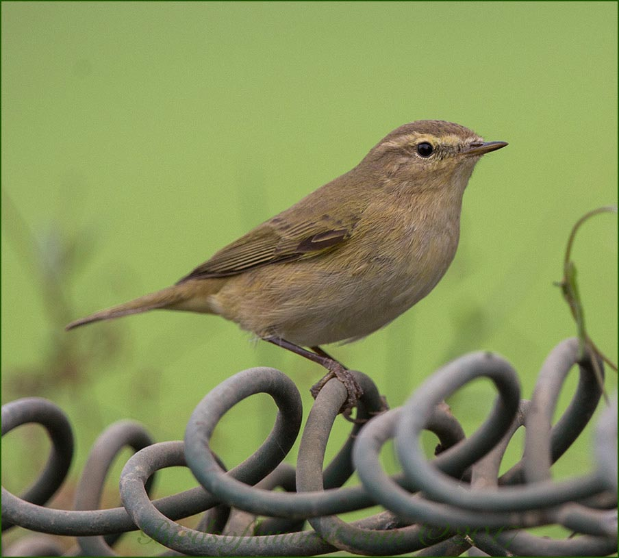 Common Chiffchaff on wires