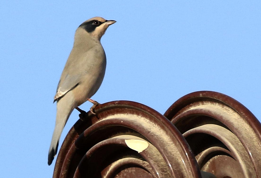 A Hypocolius is perched on electricity insulator