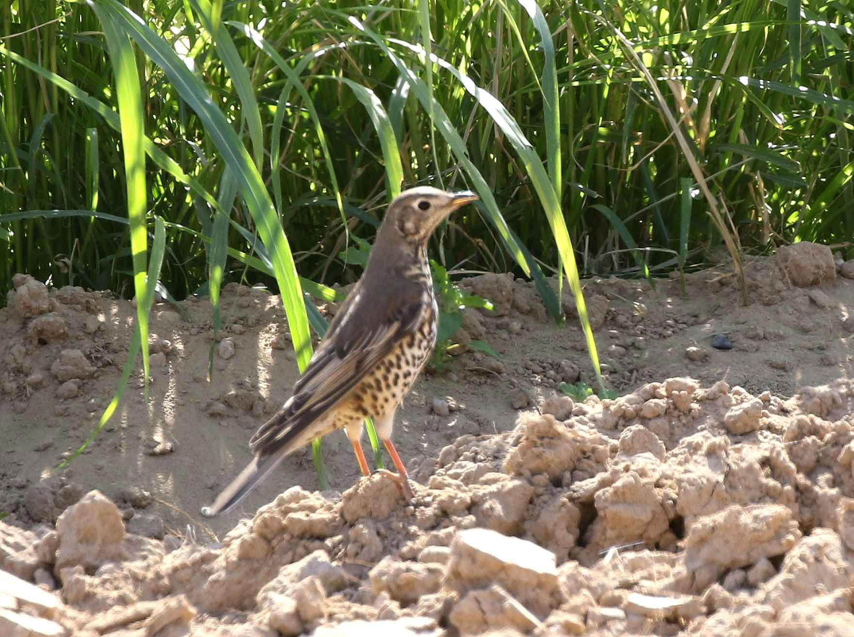 Mistle Thrush on the ground