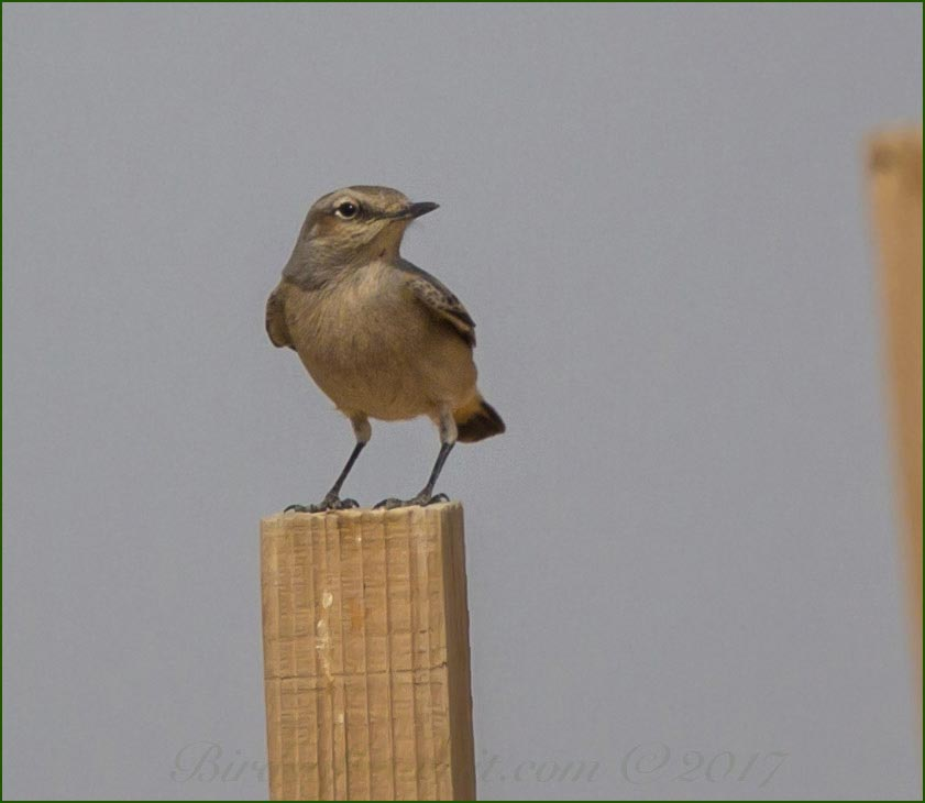 Red-tailed Wheatear perching on a stick