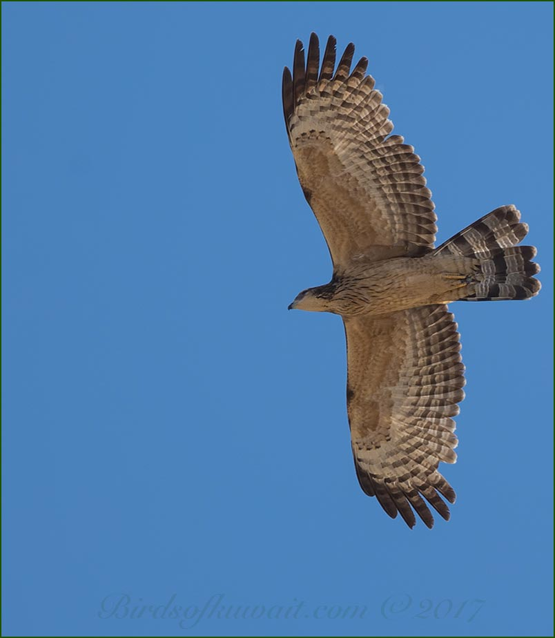 Crested Honey Buzzard Pernis ptilorhynchus