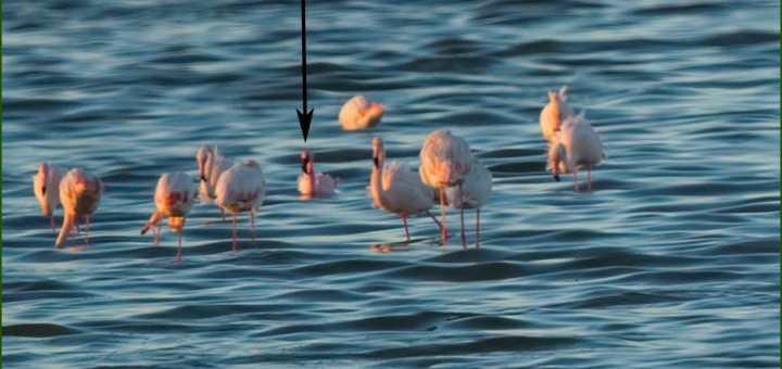 Lesser Flamingo amongst Greater Flamingos