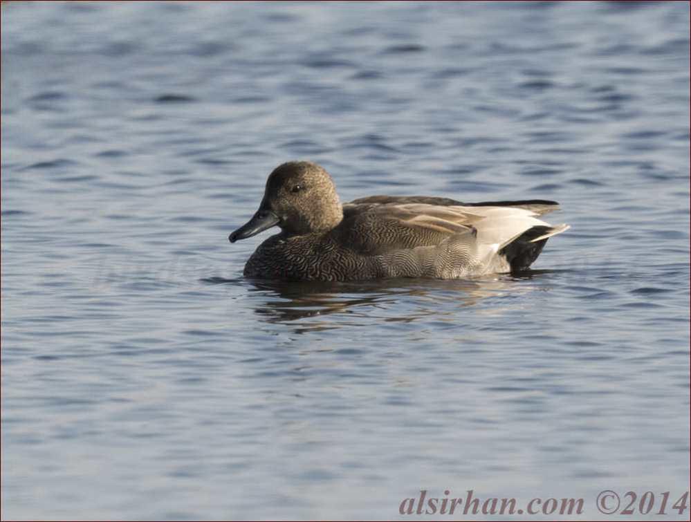 Gadwall swimming in water