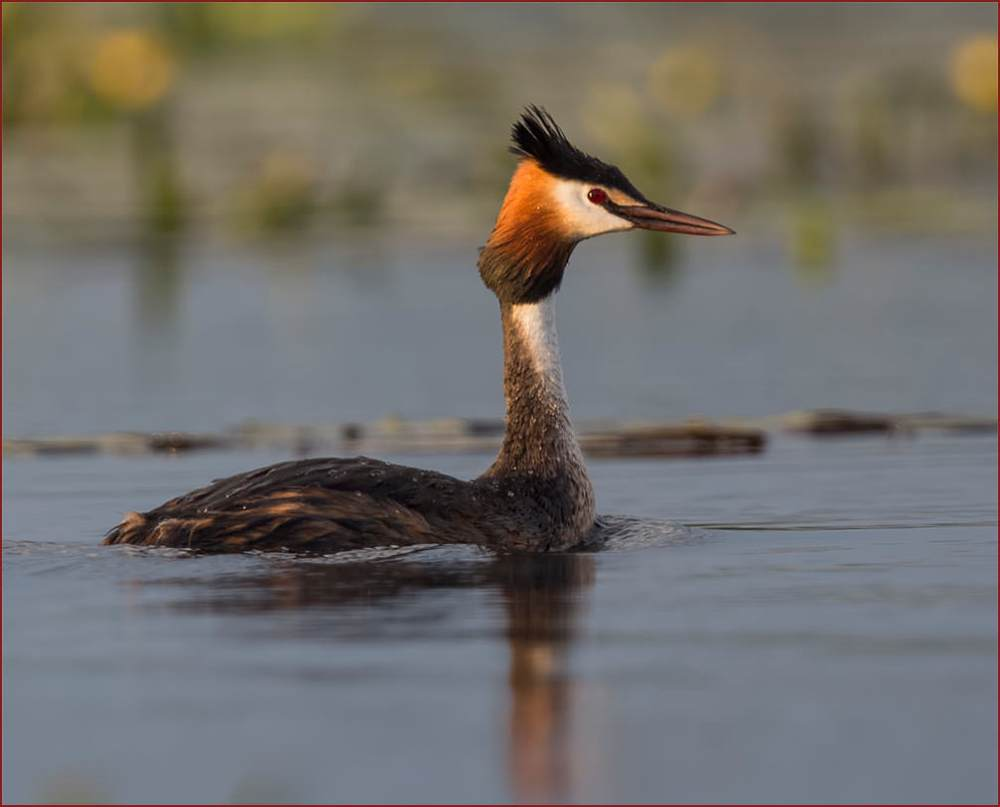 Great Crested Grebe swimming in adult summer plumage on water