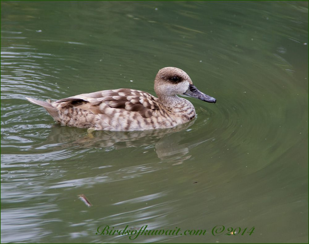 Marbled Duck swimming in water