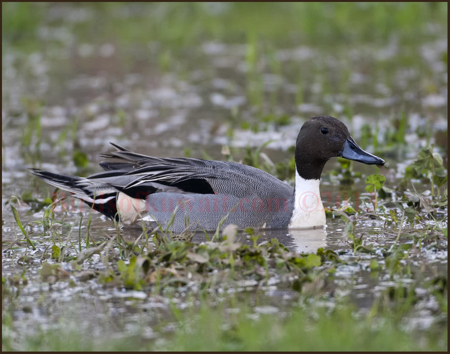 Northern Pintail swimming in water