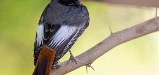 Ehrenberg's Redstart Phoenicurus phoenicurus samamisicus
