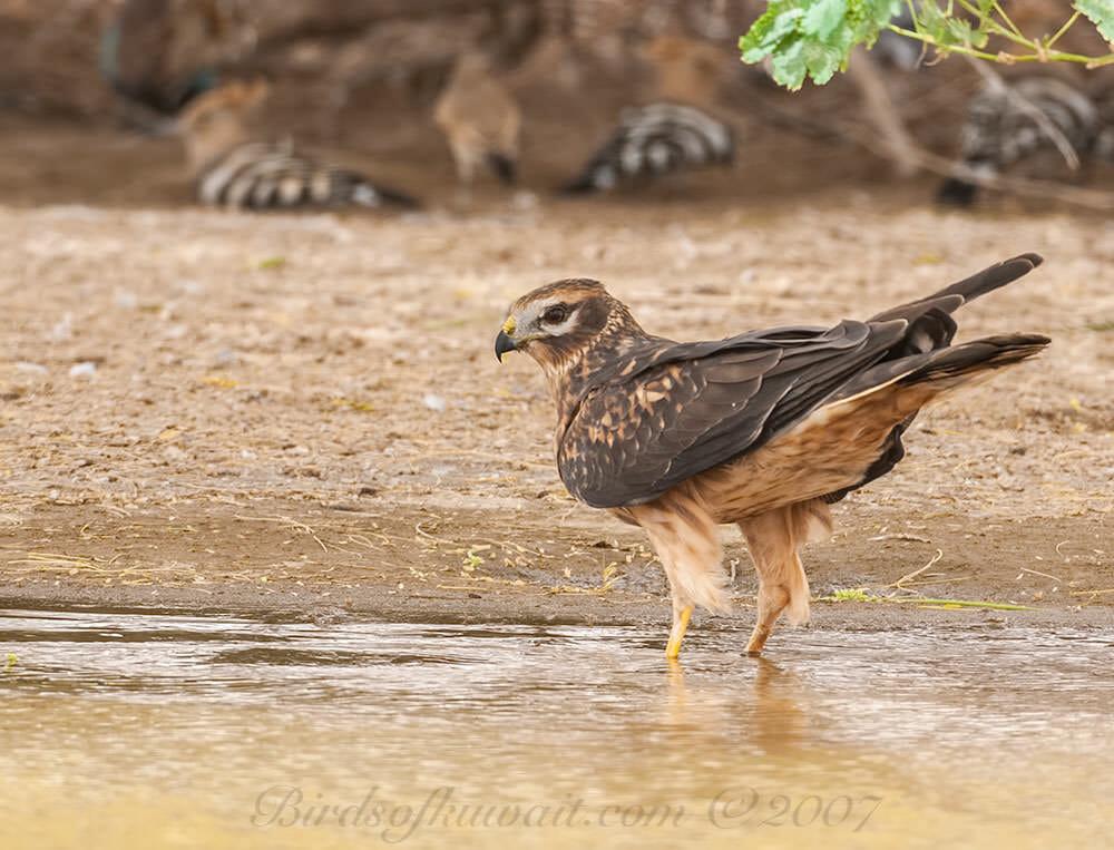 Pallid Harrier standing in water