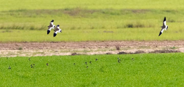 3 White-tailed Lapwings in flight