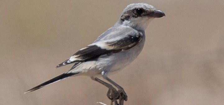 Juvenile Arabian Grey Shrike perched on a branch of a tree